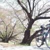 桜とPENNAROLA